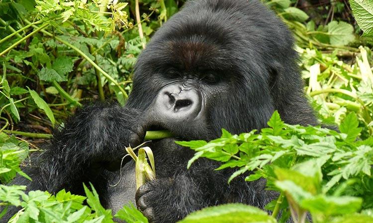 Rwanda Primates Safari - Gorilla Trekking - Rwanda Safaris Tours