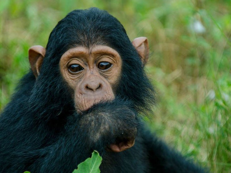 Ngamba ISland Chimp Sanctuary